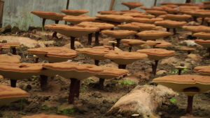 Mushroom used in Chinese medicine 'slows weight gain'
